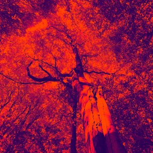 Oak in Red by Sophie Douglas of The Arts School digital manipulated photograph printed on Giclee Cnason Aquarelle rag paper size 15 inch x15 inch